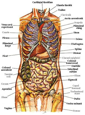 Corpul uman – organele corpului omenesc