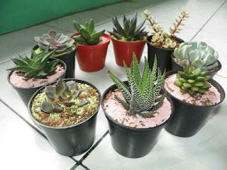 jual pohon kaktus mini