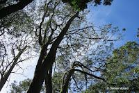 Koa tree, valuable wood - Hawaii Volcanoes National Park, HI