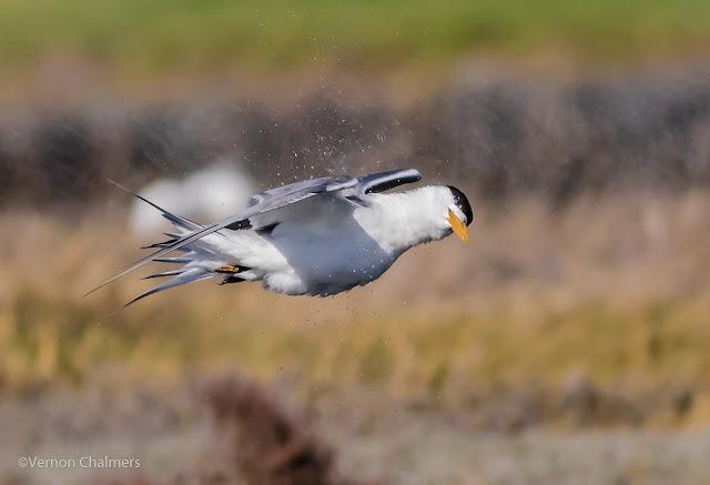 Swift tern in flight : Woodbridge Island, Cape Town Frame 3 / 5  Copyright Vernon Chalmers Photography