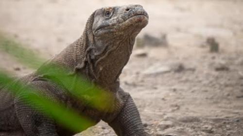 UNESCO Tegur Pemerintah Indonesia, Hentikan Semua Proyek di Taman Nasional Komodo