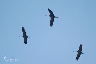 Grulla común - Common crane (Grus grus)