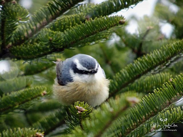 Birds of Newfoundland Nuthatch