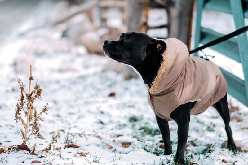 Should I Put a Winter Coat on My Dog?