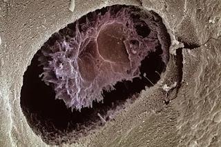 أنواع خلايا جسم الإنسان,خلايا الجسم,خلايا الدم ,كريات الدم,الخلايا العصبية,الخلايا الدهنية,خلايا البنكرياس,الخلايا الجنسية,خلايا الجلد,الخلايا الجذعية,زراعة الأعضاء