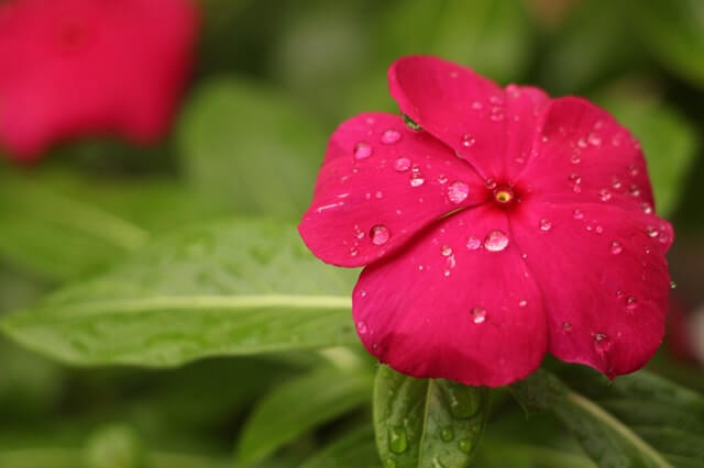 Red Petaled Flower With Rain Drops HD Copyright Free Image
