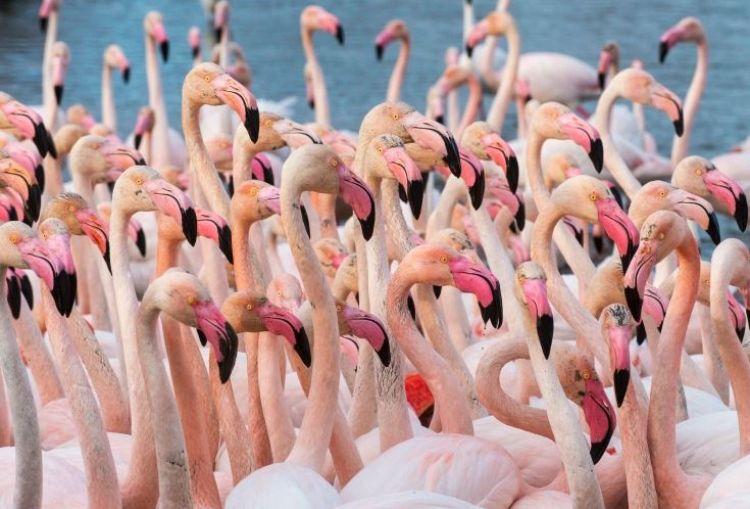 Ini fakta unik di balik bulu burung flamingo berwarna merah muda