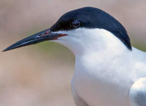 Indian birds - Photo of Roseate tern Profile - Sterna dougallii