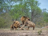 Pertarungan Dramatis Dua Singa Bersaudara demi Kekuasaan