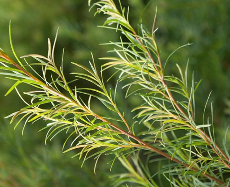 Manfaat Minyak Tea Tree untuk Kulit Kepala dan Rambut ...