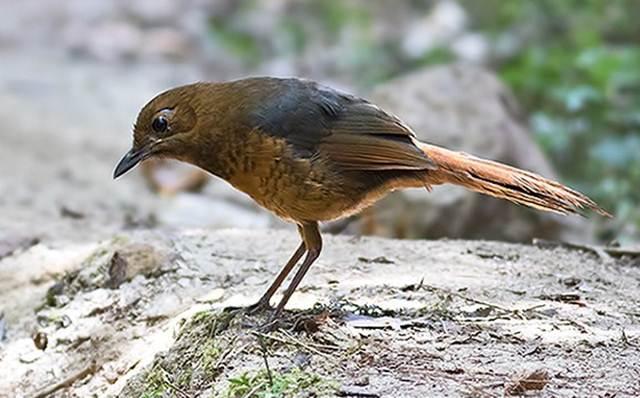 Burung Endemik Sulawesi Lengkap dan Terupdate 2020