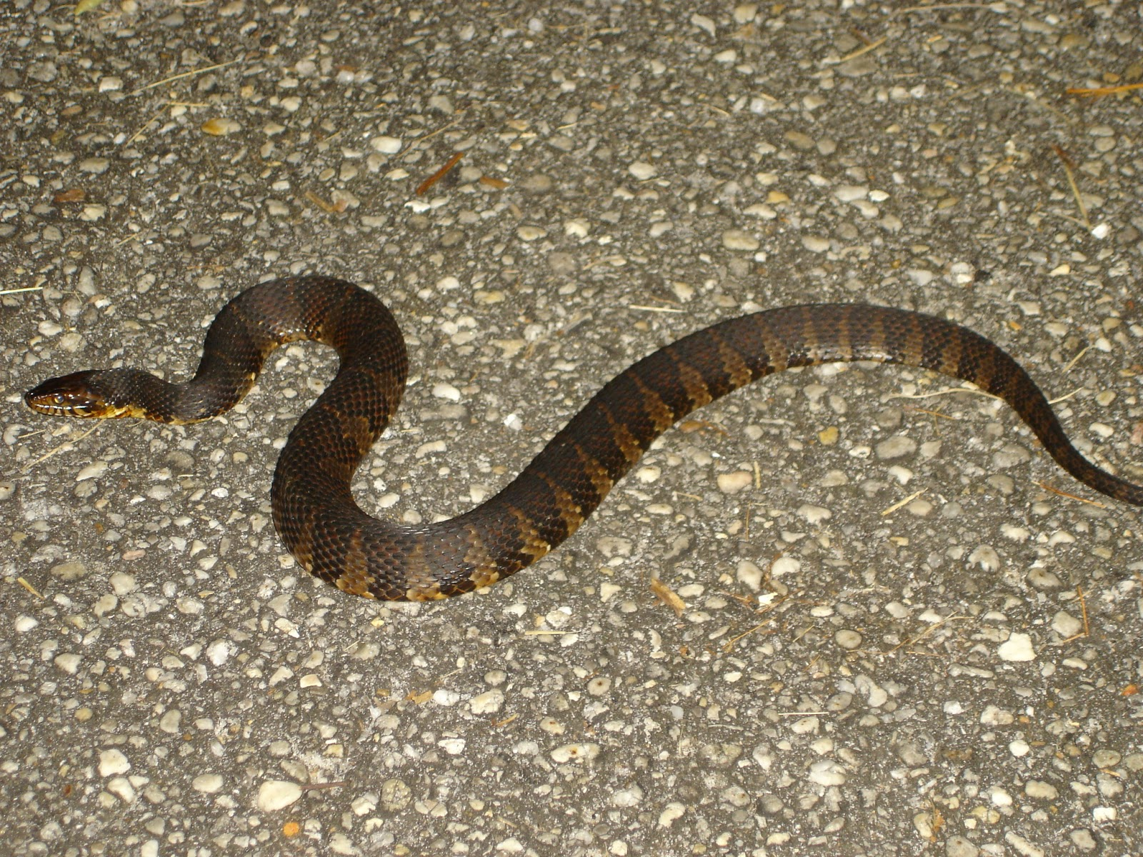 Picture suggestion for Baby Water Moccasin Snake