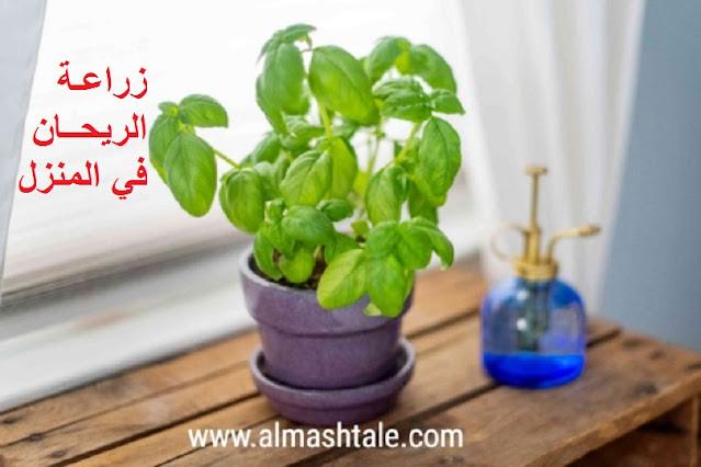 زراعة الريحان basil في المنزل