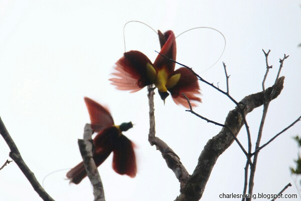 2 Red Birds of Paradise in Waigeo