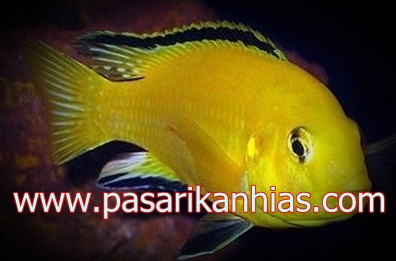 Ikan hias air tawar lemon