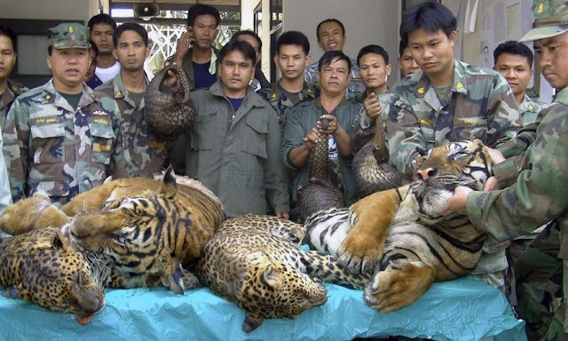 Revealed: How Senior Laos Officials Cut Deals With Animal Traffickers