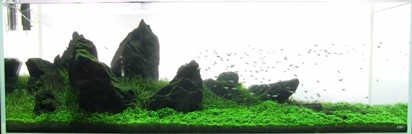 Bể thủy sinh với thảm trân châu ngọc trai xanh mướt