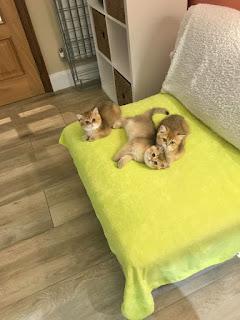 golden british shorthair kittens for sale