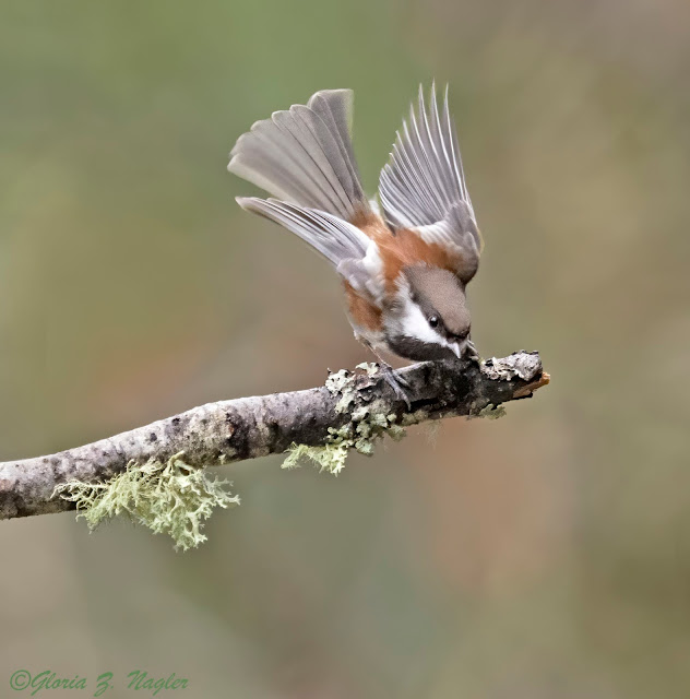 A small bird on a branch points downward while its wing are spread just enough to see every separate feather. The wings are a pale muted brown but most of the body is a rich russet brown.  Top of the head is a brown cap, then a white racing stripe and finally a black throat.