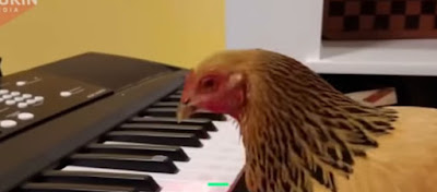 Τι κάνει αυτή η κότα μπροστά στα πλήκτρα; Ένας μουσικός με πούπουλα!