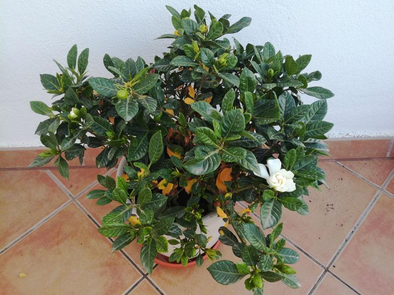 Gardenia a giugno, ingiallita e cadono le foglie
