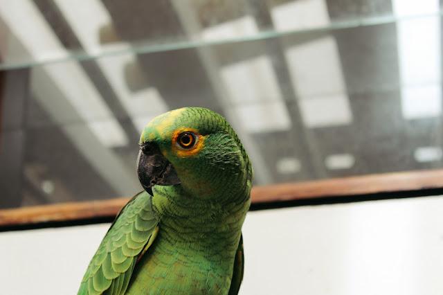 Meu papagaio, Horário. Brazilian parrot.