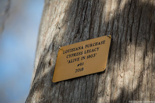 Cypress tree with a legacy marker in the Atchafalaya Basin. [Image Credit: (c) 2018 Julie Dermansky] Click to Enlarge.