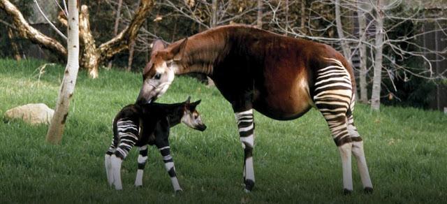 La jirafa de bosque, okapi, y biologia
