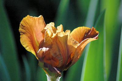 Photo Friday on Sunday - Splendid Iris - May 29, 2011