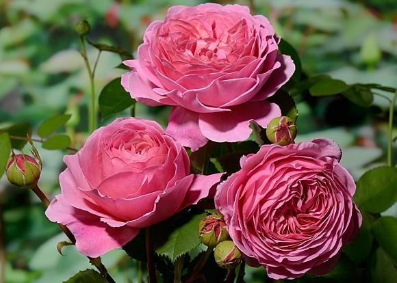 Princess Alexandra of Kent сорт розы