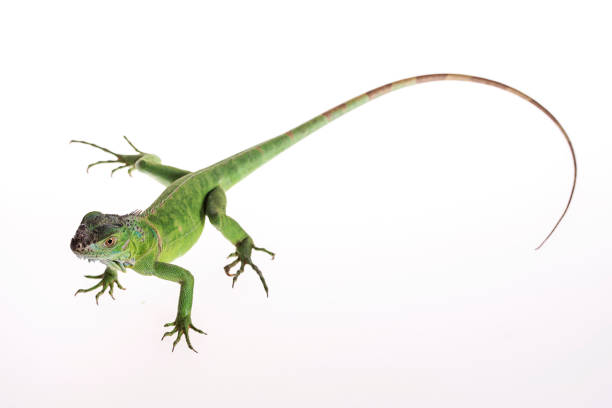 Green Iguanas – One of a Kind Reptiles