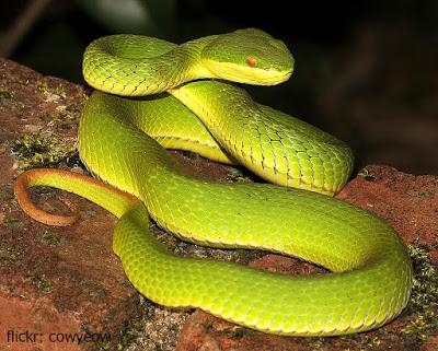 ular hijau berbisa, ular hijau kecil, ular hijau masuk rumah, ular hijau pucuk, ular hijau besar, ular hijau kepala segitiga, ular hijau ekor abu abu, ular hijau apakah berbisa, ular anaconda hijau, ular air hijau, ular hijau beranak atau bertelur, angka ular hijau