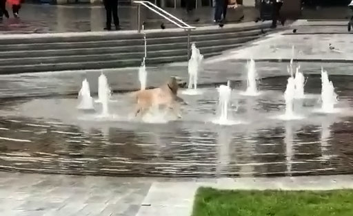 Dog frolics in a public water fountain chasing the water and living his best life.