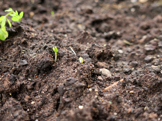 Seedlings in earth. 1st November 2020.