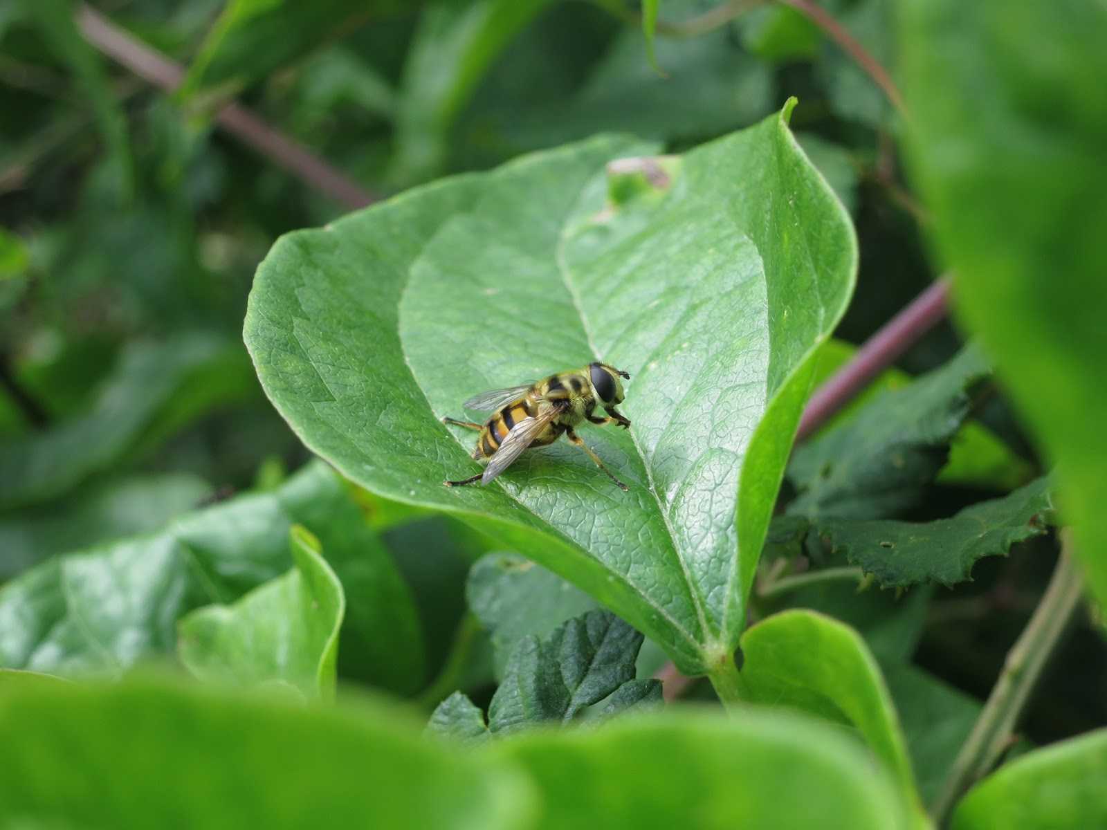 Hoverfly on leaf of Traveller's Joy (wild clematis)