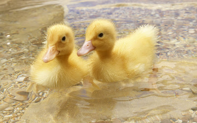 duck babies in water widescreen hd wallpaper