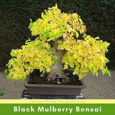 Black Mulberry Bonsai