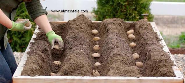 زراعة البطاطس potatoes