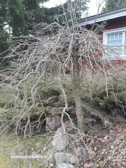 riippahernepuu ennen kevat leikkausta