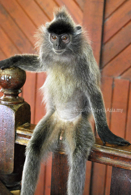 Silver Leaf Langur Photography