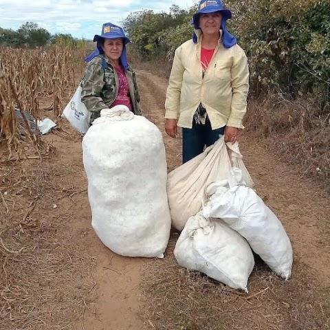O Protagonismo Feminino na produção de algodão agroecológico