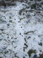 Coyote tracks en route to Glendora Mountain, Angeles National Forest, February 20, 2011