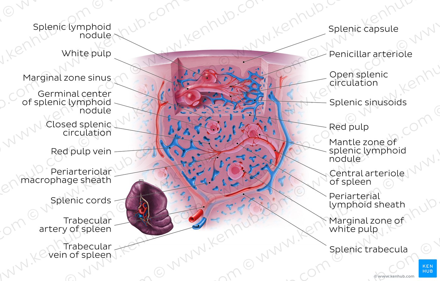 Spleen. The size of the spleen. The structure of the spleen. Spleen shape. Spleen Histology, Topographic Anatomy of Spleen - structure, shape, vessels & Nerve Supply