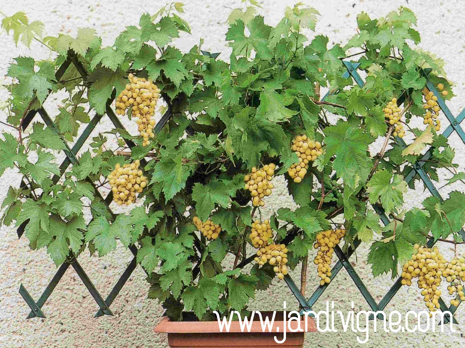 Jardivigne Une Vigne Sur Son Balcon