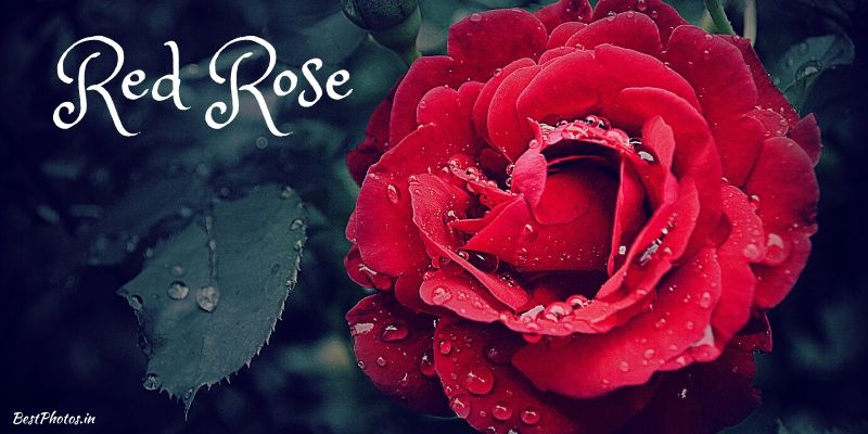 red rose photo download hd