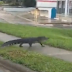 Alligator seen strolling across Florida street after Hurricane Irma ravages state (photos)