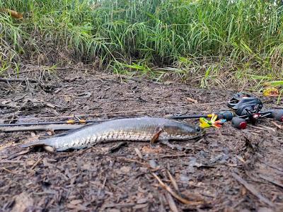 panduan mancing ikan gabus