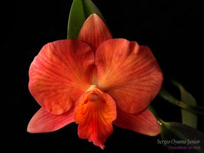 Orquídea Sophrolaelia Coral Orb