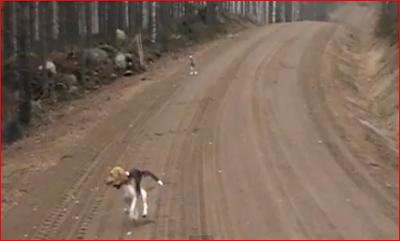 Αλλαγή ρόλων: Ο λαγος κυνηγαει το σκυλο.....VIDEO