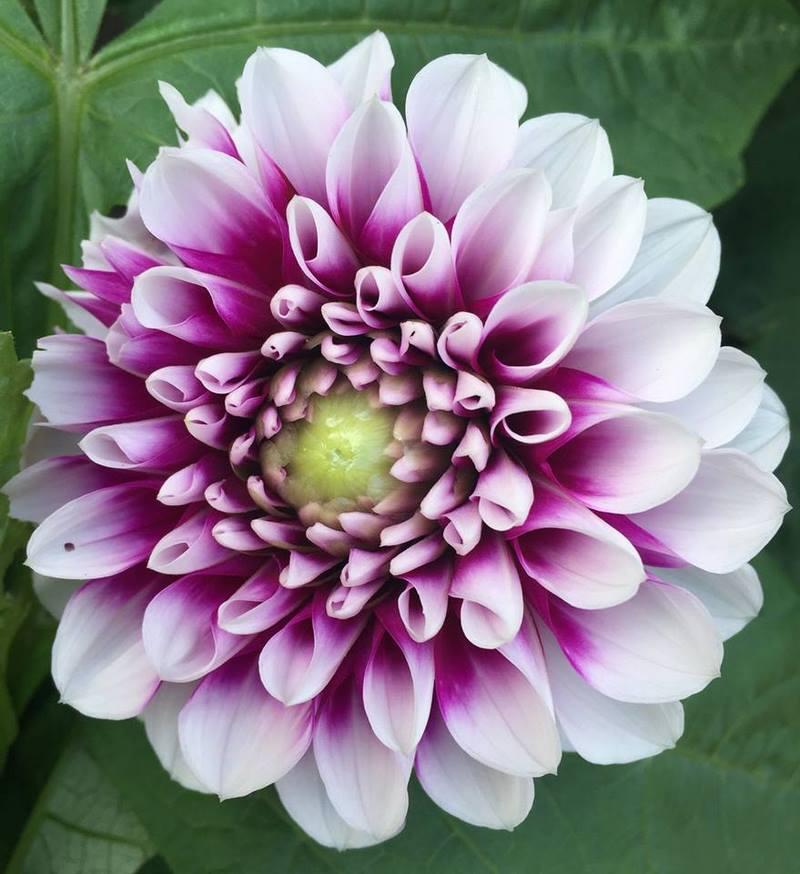 Flor de dalia bicolor rosa fucsia y blanco